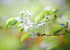 Cherry branch flowering Stock Image