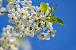 Cherry branch flowers Royalty Free Stock Images