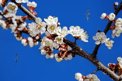 Cherry branch with flowers on the background of blue sky. With seagulls stock image