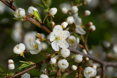 Cherry branch with flowers Royalty Free Stock Image