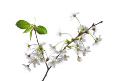 Cherry branch with flowers isolated Stock Image
