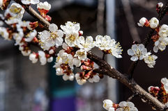The cherry branch with flowers. Spring Royalty Free Stock Photography