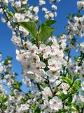 Cherry branch with flowers Stock Photos