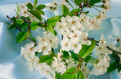 Cherry branch with gentle white flowers, buds and leaves. Royalty Free Stock Images