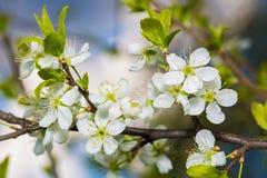Cherry Branch With Green Leaves floreciente Imagenes de archivo