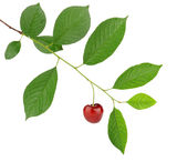 Cherry branch Stock Photos