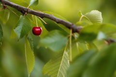 Cherry, Branch, Leaf, Fruit royalty free stock photos