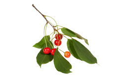 Cherry branch with leaves and few berries. Isolated on the white Royalty Free Stock Photography