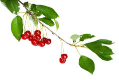 Cherry branch with leaves and few berries. Isolated on the white background Royalty Free Stock Photo