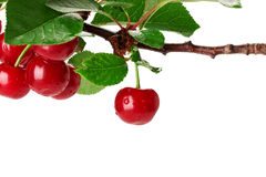 Cherry branch with leaves and few berries isolated on the white Royalty Free Stock Images