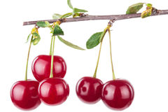 Cherry branch with leaves Stock Photos