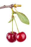 Cherry branch with leaves Royalty Free Stock Photography