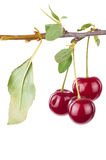 Cherry branch with leaves Stock Photography