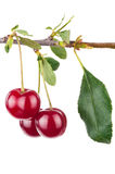 Cherry branch with leaves Stock Images