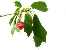 Cherry on branch with litho Royalty Free Stock Photo
