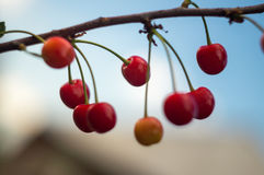 Cherry Branch maduro Imágenes de archivo libres de regalías