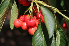 A cherry branch Stock Images