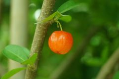 The cherry is on the branch, in the orchard Stock Images