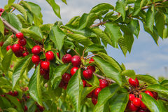 Cherry on a branch. Red cherry on a branch Royalty Free Stock Photo