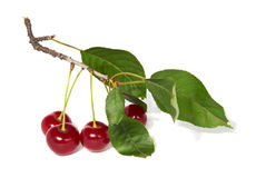 Cherry branch. Red cherry on the branch isolated on white background Stock Photo