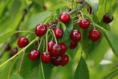 Cherry Branch Stock Photo