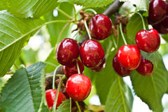 Cherry Branch Stock Photo
