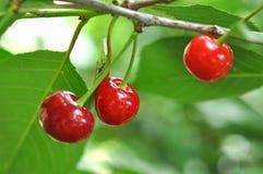 Cherry On Branch rojo hermoso Imágenes de archivo libres de regalías