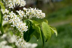 Bird Cherry branch spring beautiful blossom close up. Beautiful Bird cherry tree spring blossom on green background. Pictured with closeup view royalty free stock photos