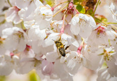 Cherry branch tree blossom blooming bee close-up honey Royalty Free Stock Images