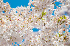 Cherry branch tree blossom blooming blue sky Stock Image