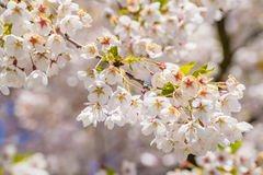Cherry branch tree blossom blooming blue sky Royalty Free Stock Photo