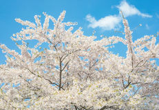 Cherry branch tree blossom blooming blue sky Stock Photo