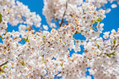 Cherry branch tree blossom blooming blue sky Stock Images