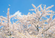 Cherry branch tree blossom blooming blue sky Royalty Free Stock Image