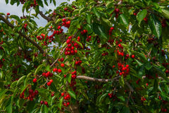 Cherry on a branch  of tree with green leaves. Red cherry on a branch with green leaves Royalty Free Stock Photos