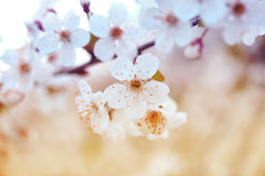 Cherry branch with white beautiful flowers blossomed the early solar spring Stock Image