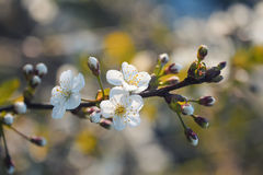 Cherry branch with white beautiful flowers blossomed the early solar spring Royalty Free Stock Images
