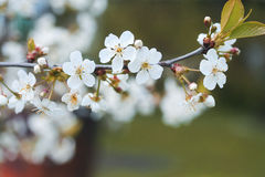 Cherry branch with white beautiful flowers blossomed the  solar spring Royalty Free Stock Photography