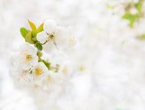 Cherry branch Stock Image