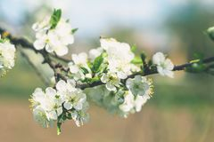 Cherry branch with white flowers in spring garden stock photo