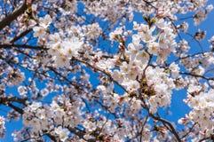 Cherry Branches Lizenzfreies Stockfoto