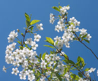 Cherry branches with blossom flowers isolated on b. Lue sky Stock Photo