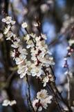 Cherry Branches In Early Spring floreciente Fotos de archivo