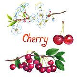 Cherry branch with flowers and berries vector illustration