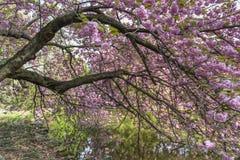 Cherry Branches Reflected Fotografering för Bildbyråer