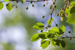 Cherry branches with shiny fresh leaves and small unripe cherries lit by spring sun on blurred bright bokeh copy space background. Stock Image