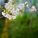 Cherry branches with white flowers Royalty Free Stock Photo
