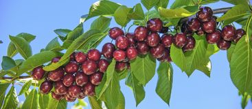 Cherry branchloaded with cherries. stock photography