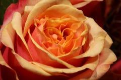 Cherry Brandy Roses Imagen de archivo libre de regalías