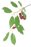 Cherry brunch with leaves Stock Photo